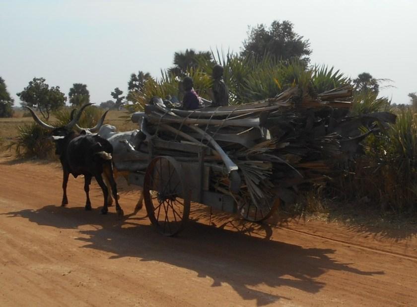 oxen-were-a-common-sight